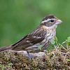 Here is a female Rose-breasted Grosbeak.  She looks very different than the male and is not as showy.