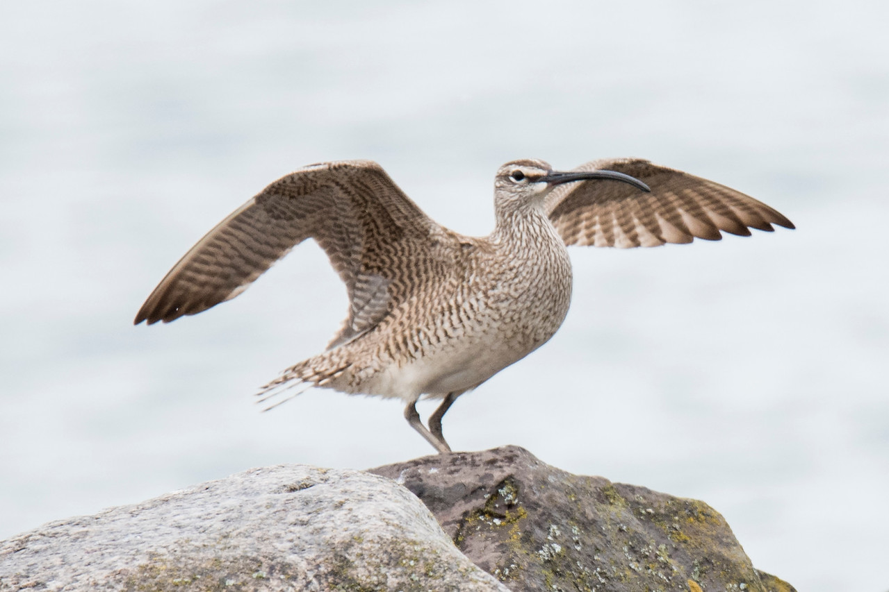 This bird isn't yet in flight but it looks like it is ready to take off.  It's a Whimbrel and I saw it in Two Harbors, Minnesota, when I took a trip to the North Shore.