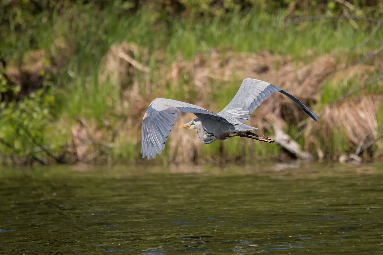 We have Great Blue Herons that come to our lake to feed.  While taking a boat ride, we flushed this one and I got a nice photo of it flying to another feeding spot.