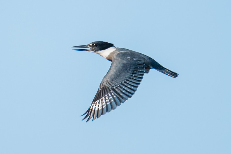 Belted Kingfishers are notoriously hard to photograph.  They seem to fly away as soon as you start to approach them.  This one happened to fly toward me and I was able to get this shot showing the full pattern of its wing.  This photo was also taken at our lake home.