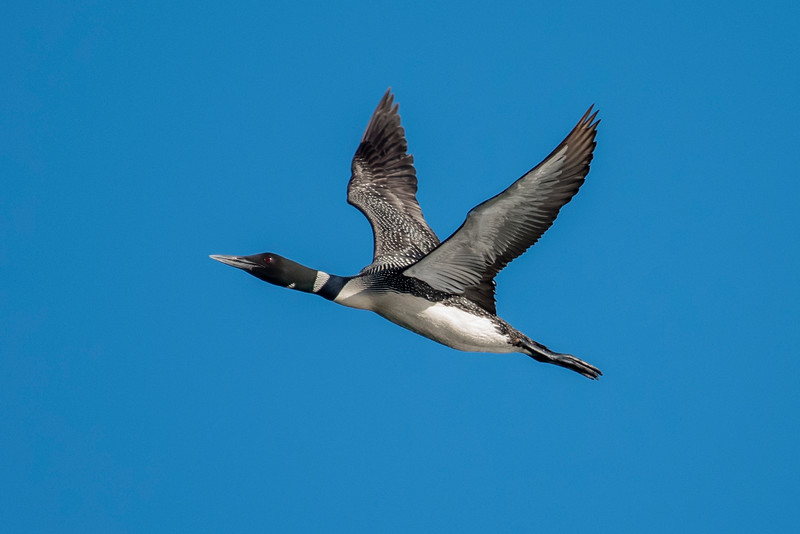 Common Loons nest on our lake.  I'm always pleased when I can get a clear photo of a loon in flight.