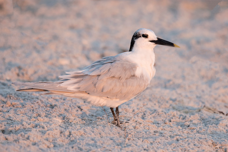 Three weeks ago, I showed you photos of Royal Terns from Sanibel Island, Florida.  Today I'm featuring another tern species from Sanibel, the Sandwich Tern.  This species has gray feathers on its back, tail, and wings.  Its belly, neck, and face are white.  Winter plumage includes black feathers on the back of the head.  When it molts into breeding plumage, the top of the head will also be black.  The legs are black and the long black bill is tipped with yellow.  This photo was taken on a Sanibel Gulf-side beach at sunset, giving it a rosy pink glow.