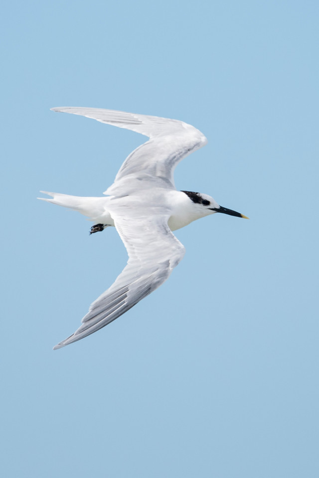 The Sandwich Tern is a powerful flier thanks to its long, slim wings.  It's a medium-size tern, about 15 inches long.