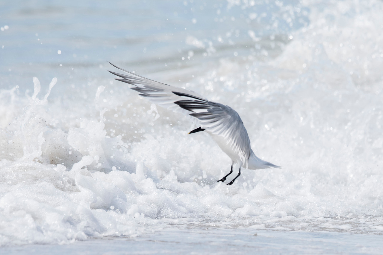 Sandwich Terns are strictly coastal inhabitants, from North Carolina south, around the Gulf of Mexico, and to the coasts of South America.  They are also found on many of the Caribbean Islands.  This one looks like it is commanding the waters to part.