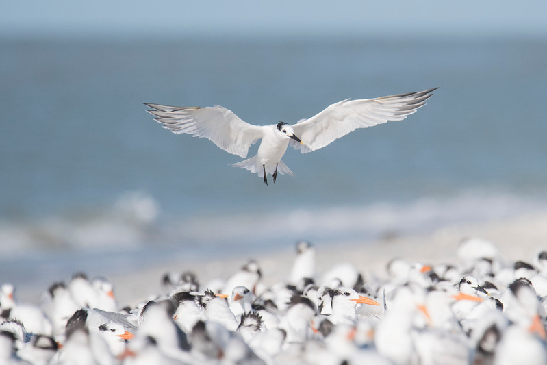 Here's a Sandwich Tern trying to land in a mixed group of other terns.  It looks like they are so tightly packed that there is no room, but each bird that came in found a space where it could settle down.