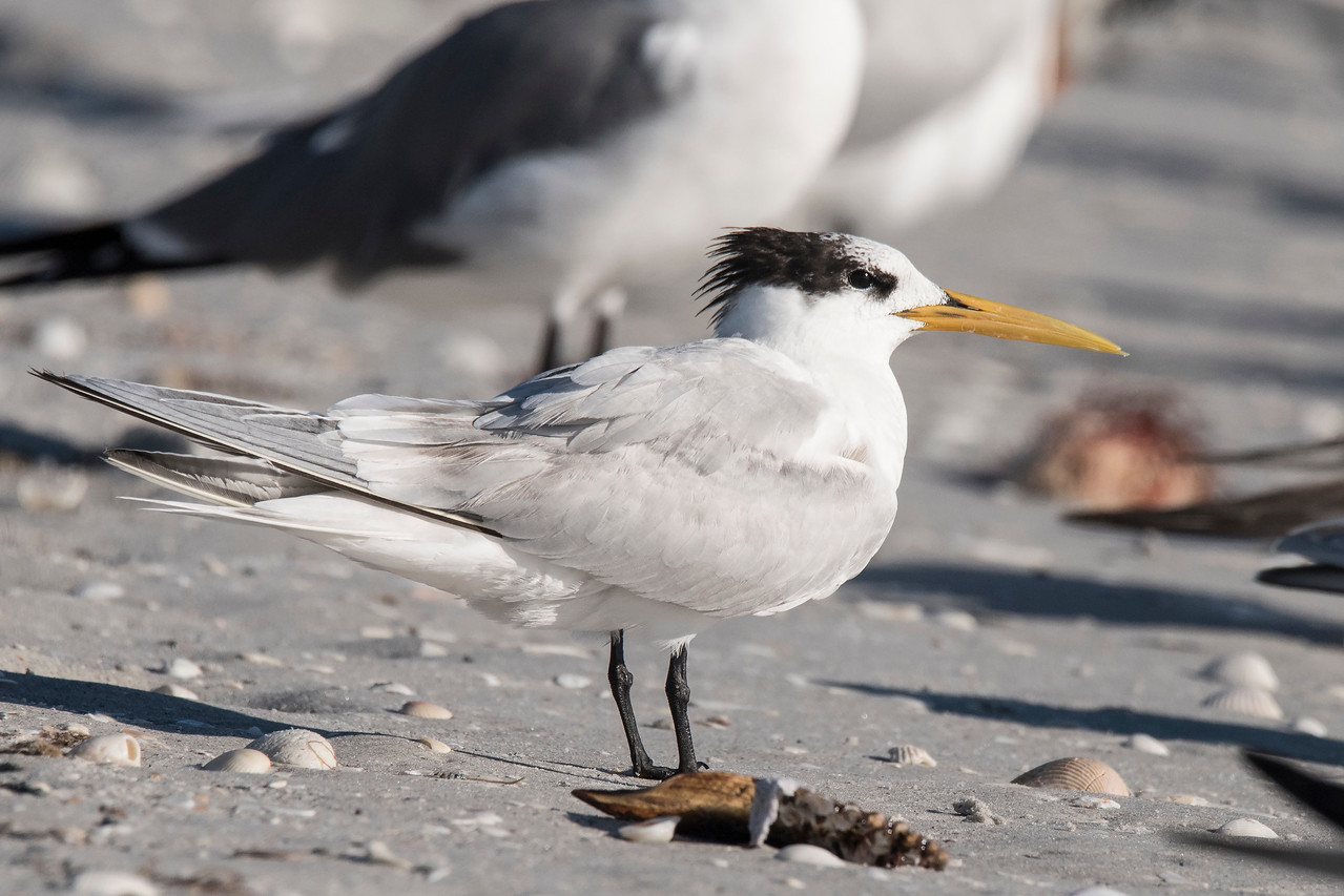 This bird is the same size and shape as the other Sandwich Terns but it has an all-yellow bill.  I sent a photo to my friend John Murphy and he told me it was probably a South American subspecies of Sandwich Tern called a Cayenne Tern.  Every once in a while, one of them makes it all the way up to Florida.