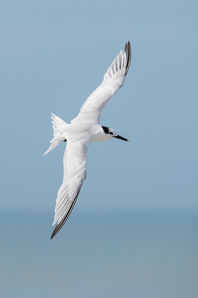 Sandwich Terns have a wing span of 34 inches.