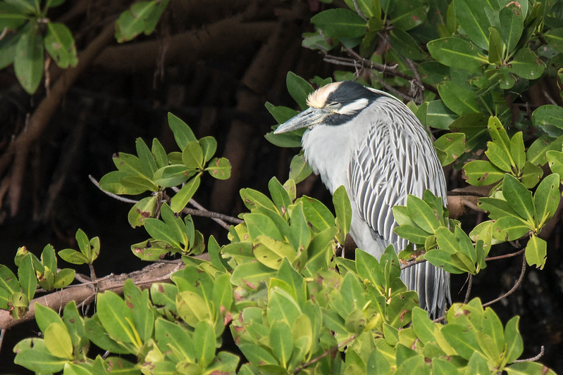 The Yellow-crowned Night-Heron is aptly named because it is most active at night.  So, I was not surprised to find this one snoozing during the day along the wildlife drive at Ding Darling NWR on Sanibel Island, Florida.  Also, note that it does, indeed, have yellow feathers on the top of its head.  Some bird names do make perfect sense.