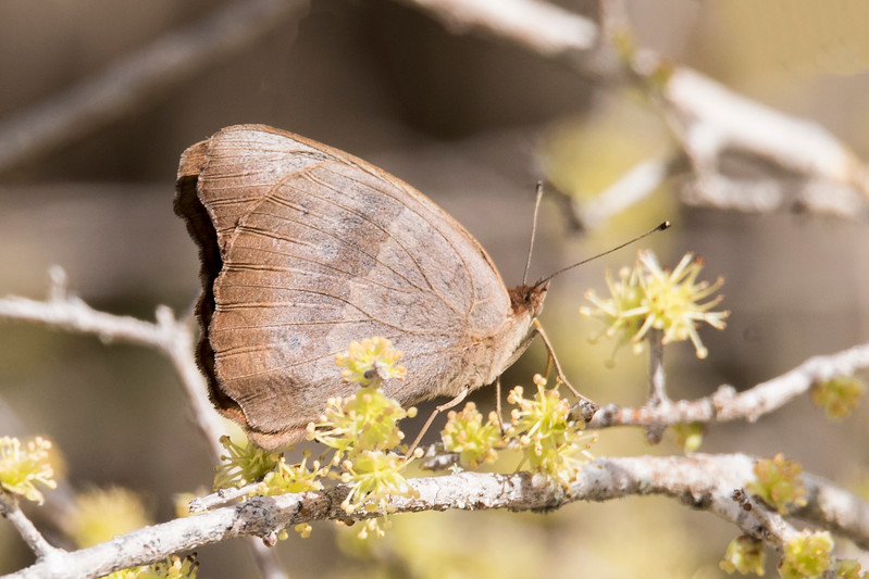 This is also a Common Buckeye but now we are seeing the underside of the wings.  It looks so different than the previous picture that you could think they were different species.