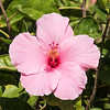 I always enjoy photographing Hibiscus flowers.