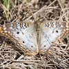 Here's a White Peacock butterfly.  It has some damage to its right wing.  Its range goes from southern Florida and Texas, through Mexico and Central America, and down to Argentina.  It has a wingspan of 2 to 2¾ inches.  This photo was also taken at the Bailey Tract.