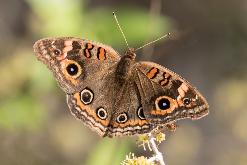 During our January trip to Sanibel Island, Florida, I also took some non-bird photos.  This is a Common Buckeye butterfly that I saw at the Bailey Tract.  This butterfly species has a wingspan from 1 5/8 inches to 2¾ inches.