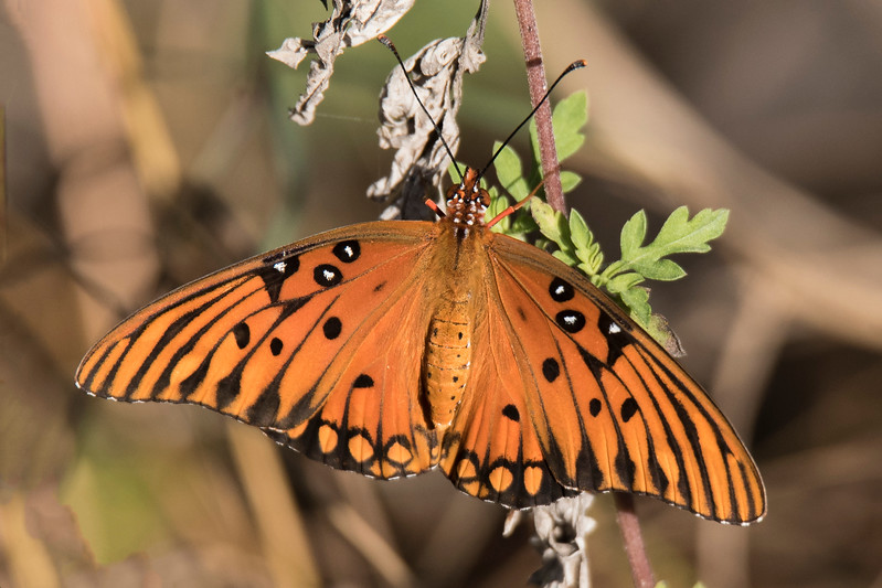 This colorful butterfly is a Gulf Fritillary.  It has a wingspan of 2½ to 3¾ inches with females usually being larger than males.  This photo was taken at Ding Darling NWR.