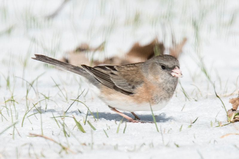 We had snow on the ground when I got up Friday.  We also had a flock of about 35 Dark-eyed Juncos foraging in our yard.  This one was much lighter in color than the rest.  I think it's one of the subspecies that is usually found in the western United States.  My guess is that it is a Pink-sided Junco.