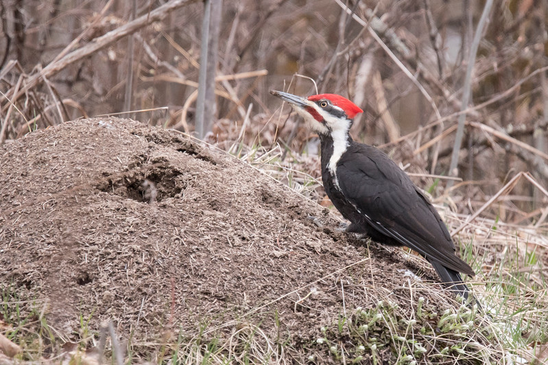Also along the road I saw this male Pileated Woodpecker fly to a large ant mound.  It proceeded to rip into the mound and I am assuming he was eating the ants.