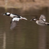 This photo was actually taken a week ago.  This pair of Buffleheads was on a small pond by our driveway.  I am always pleased when I can get a decent flight shot of ducks.