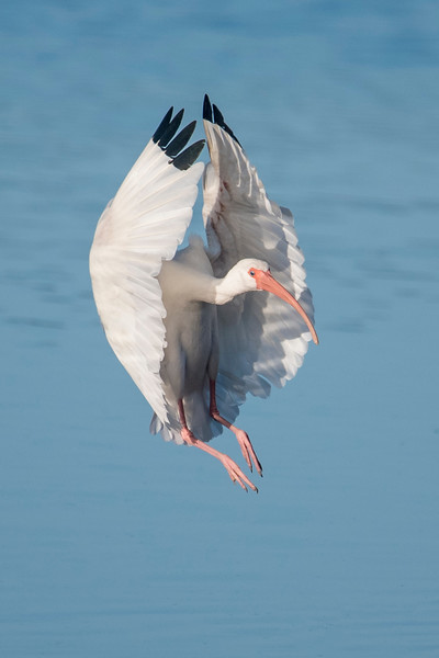 This is an interesting landing photo.  This bird looks like it's emerging from a cocoon.