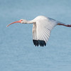 When flying, a White Ibis keeps its neck straight out in front of it.  This gives the bird a hump-backed look.  It is a medium-sized wading bird, about 25 inches long.  This photo was also taken at Ding Darling NWR.