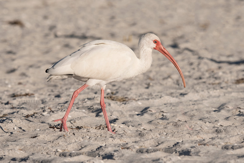 White Ibis also forage in the sand along the Gulf Coast side of Sanibel Island.  The face, bill, and legs of this bird look much redder than those in the previous photos.  That indicates it's already in breeding plumage.