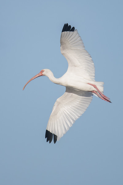 When a white Ibis unfolds its wings, as in this flight shot, it reveals the black wing tips that are otherwise hidden.  Black feathers are stiffer and stronger than white ones so the black tips help protect the bird's feathers from wear.  This photo was taken at Ding Darling NWR.