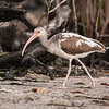 This is a juvenile White Ibis seen at Ding Darling NWR.  In its first year, it has mostly brown feathers.  During its second year, the feathers gradually change over to the all-white plumage of an adult.  This bird's back feathers have already changed to white and there are a few white feathers showing up in its wing.