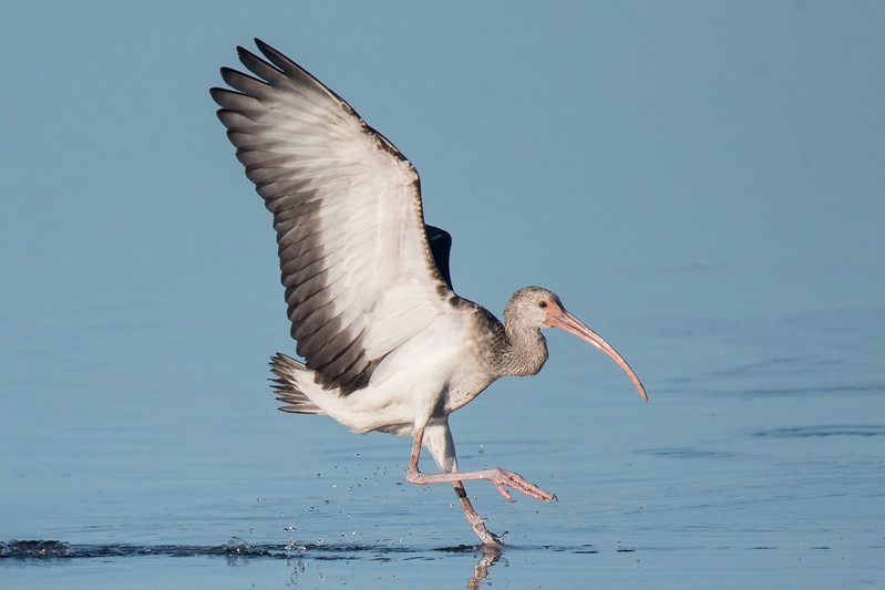 Here's a juvenile White Ibis landing at Ding Darling NWR.