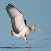 Here's a juvenile White Ibis landing at Ding Darling NWR.