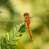 """There are several red meadowhawk species and it is difficult to tell them apart.  I know this is not an Autumn Meadowhawk because they have yellow legs and this one has black legs.  There are still a couple of other possibilities so I'll just call this a """"meadowhawk species."""""""