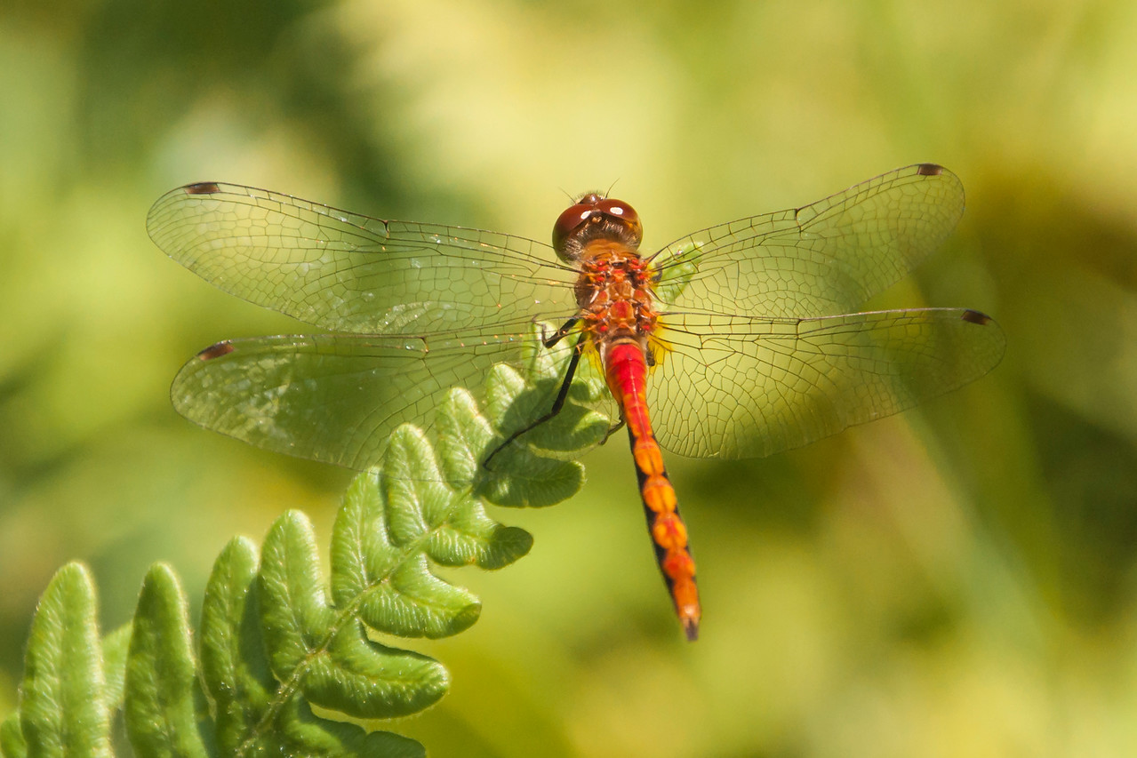 "There are several red meadowhawk species and it is difficult to tell them apart.  I know this is not an Autumn Meadowhawk because they have yellow legs and this one has black legs.  There are still a couple of other possibilities so I'll just call this a ""meadowhawk species."""