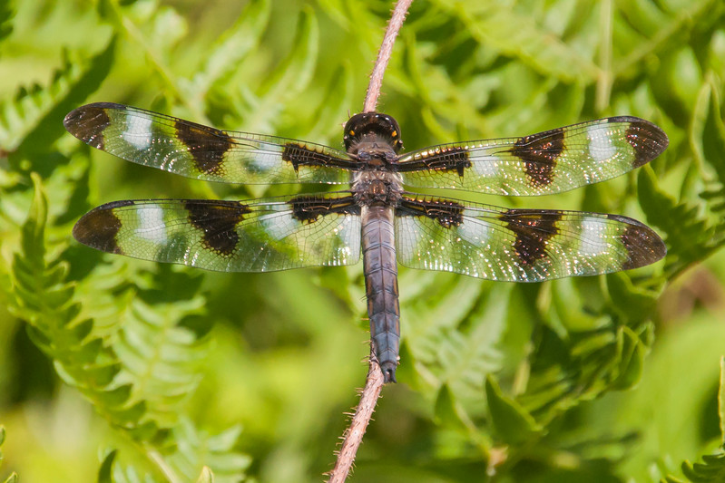 The adult male Twelve-spotted Skimmer has the same black wing spots as the female but he also has ten white spots on his wings.
