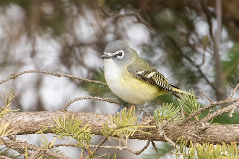 "Another visitor to our yard was this Blue-headed Vireo.  It has rather muted plumage but there's nothing subtle about those thick, white eye rings.  The white line continues across the front of its head and birders often say it has ""spectacles."""