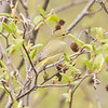 Here's a closer look at the previous photo.  The bird is an Orange-crowned Warbler.  It's very plain looking, but that's an advantage because it blends in so well with the emerging leaves.  It does have orange feathers on top of its head but they are well hidden.  You can just see a hint of them in this photo.