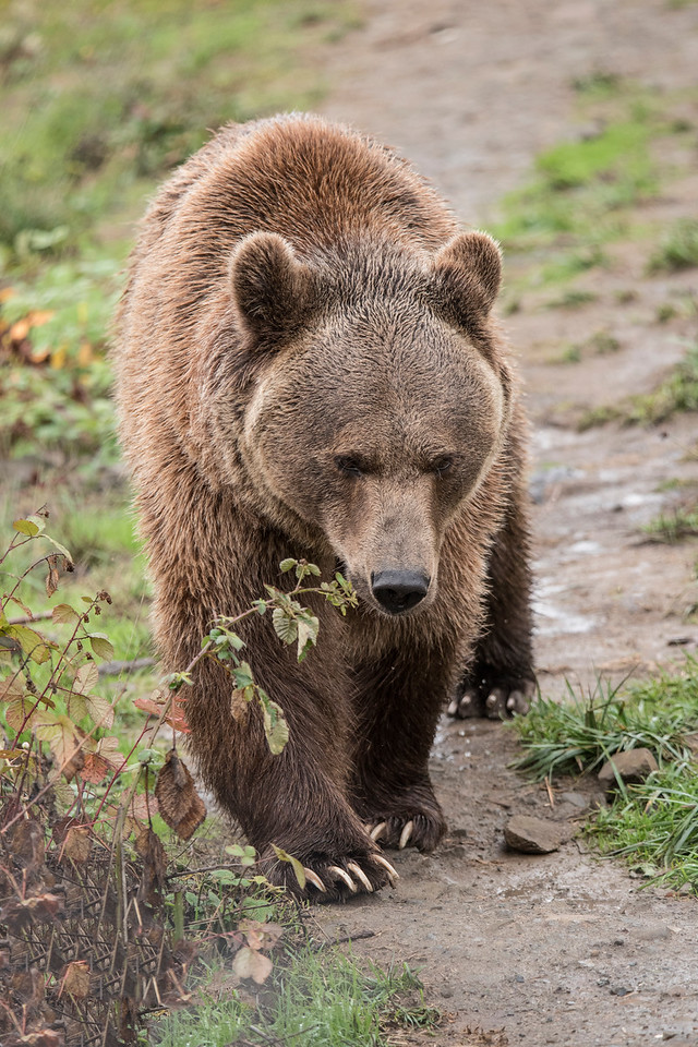 This is how you expect to see a bear when it's moving around.  Brown Bears are also known as Grizzly Bears.  Notice the length of the claws.