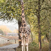 One of our favorite sightings was this Giraffe.  It was standing right in the middle of the road, so we had to just stop and wait for it to finish eating before it moved on.  Giraffes can be 15 to 20 feet tall.  You don't realize how tall that is until you are right next to one of them.