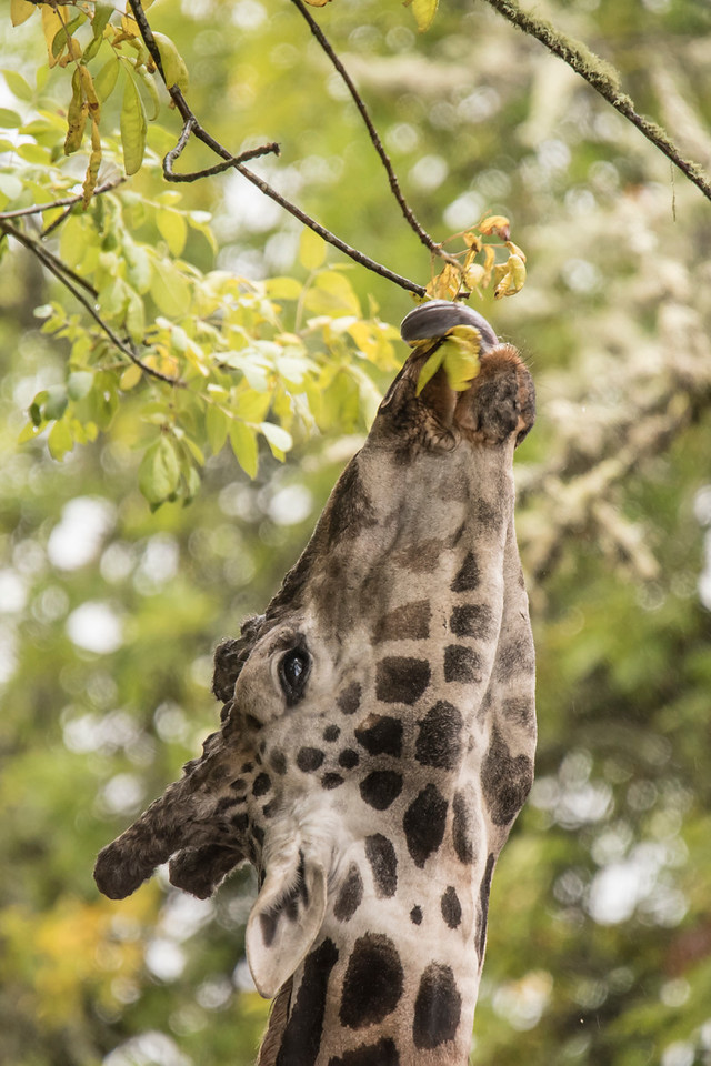 A giraffe's height allows it to feed on leaves that other animals have no chance of reaching.  It's tongue, which can be 18 inches long, is helpful for pulling the leaves into its mouth.