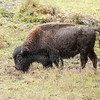 In the North American area, there was a small herd of Bison.  It had been raining before we got to the park so the hair of this animal, especially on the head, still looks wet.