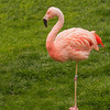 Last week I mentioned that Diana and I visited the Wildlife Safari Park when we were in Oregon in October.  They had several Chilean Flamingos right near the visitor center.  They are tall, stately birds with beautiful pink feathers.  Their height ranges from 43 to 51 inches.