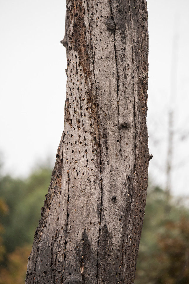 Acorn Woodpeckers are known for drilling many holes in the side of a tree and storing acorns in these holes.