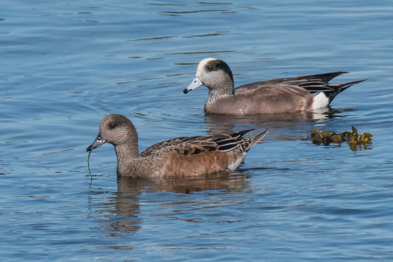 Here is a photo of a pair of American Wigeon (female in front, male in back).  They were part of a flock that was wintering in the South Jetty bay in Bandon.