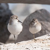 Two kinds of small sandpipers are common along the Oregon coast.  On the left is a Western Sandpiper which is 6½ inches long.  It has a mostly clear chest and neck and black legs.  On the right is a Least Sandpiper (6 inches long) which has a brownish chest and yellow/green legs.  In this photo, I think the size difference between the birds is exaggerated because the bird on the left is closer to the camera.