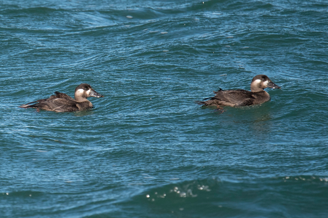 Surf Scoters nest in the far northern areas of Canada but they migrate to the West Coast for the winter.  This photo was taken at the Marina in Charleston, Oregon.