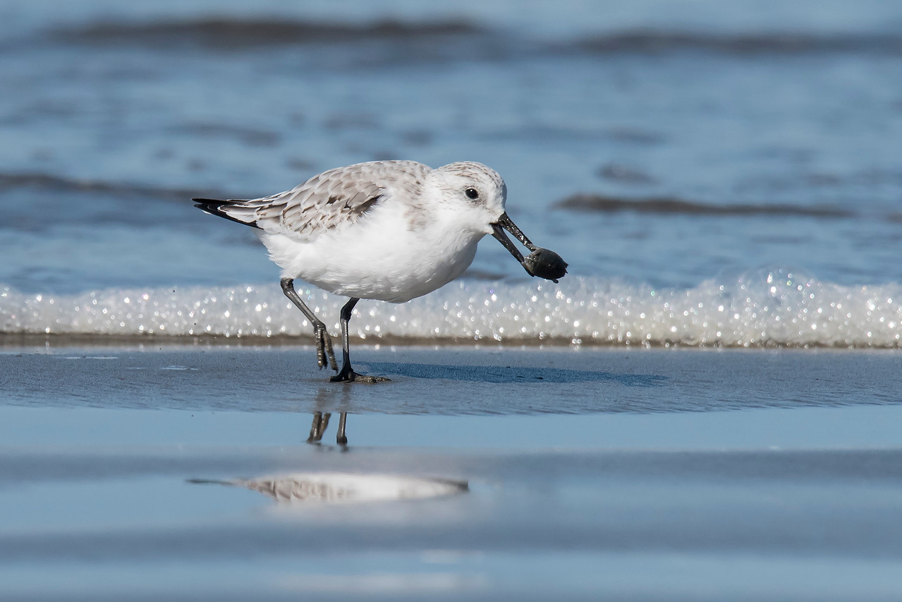Sanderlings are small (8 inch) shorebirds.  They are the ones that look like little wind-up toys as they chase the waves breaking along the shoreline.  This one caught something that will make a nice meal.