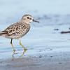 Here's a better look at a Least Sandpiper.