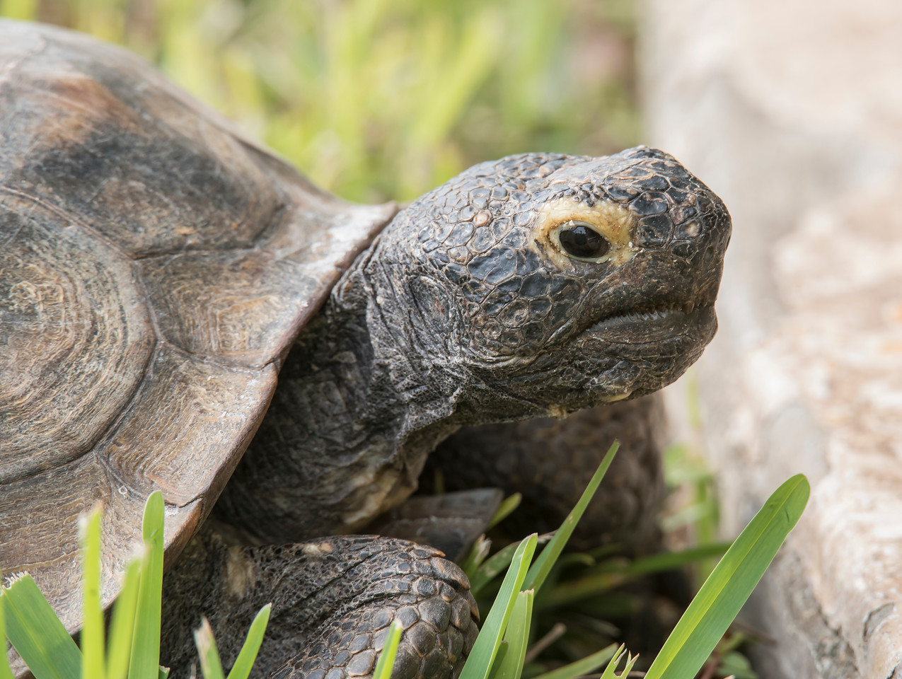 This is the second Tortoise that we saw.  You can tell this is a different one because it has a dark head and the other one had a light head.   Gopher Tortoises can live 40 to 60 years in the wild and don't start reproducing until they are 10 to 25 years old.  They lay from 3 to 15 eggs and bury them at the entrance to their burrows.  That exposes the eggs to the sun and keeps them warm but also makes the eggs vulnerable to predators.  It is estimated that only 3 – 5% of the young tortoises survive.
