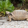 During our visit to Sanibel Island, Florida, I had my first sighting of a Gopher Tortoise.  I didn't even have to go hunting around; they had a burrow right near the cottages where we stayed.  An internet search gave me conflicting reports of whether they are listed as endangered.  However, they are at least not common.