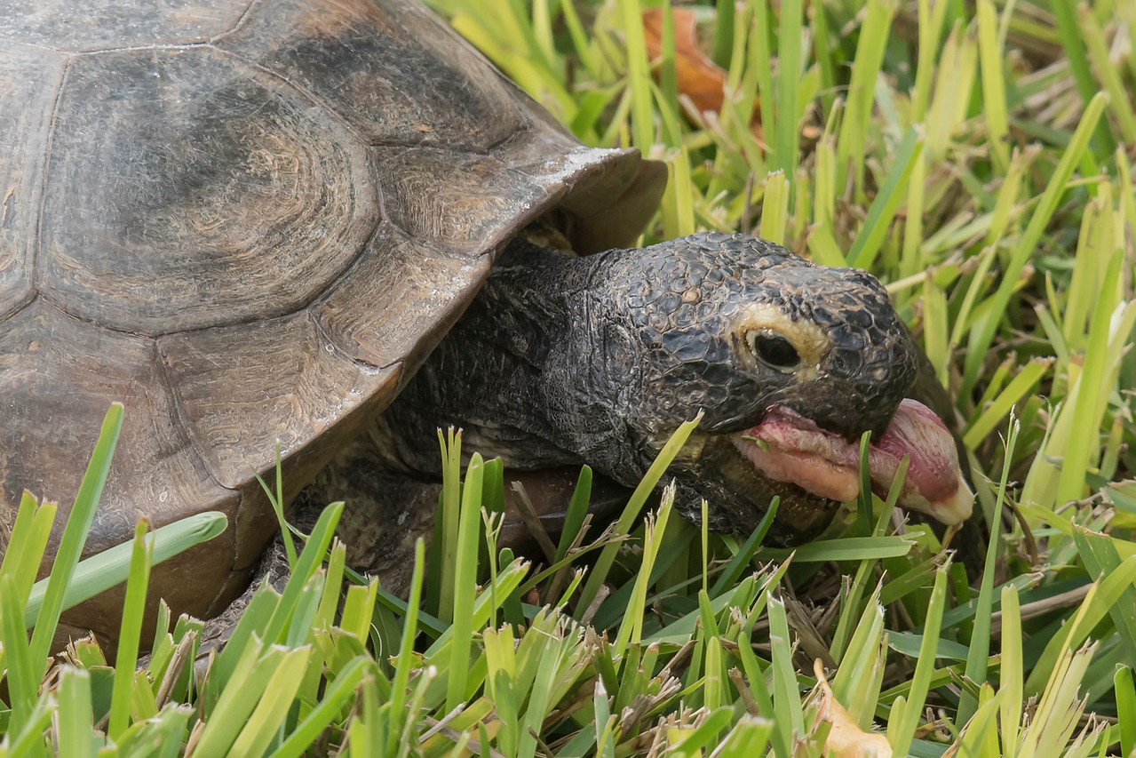 They also eat flowers.  This one was making a meal out of faded Hibiscus flowers that fell off the shrub and were on the ground.  It's interesting to note that the Gopher Tortoise is the state reptile of Georgia and the state tortoise of Florida.