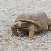 They are called Gopher Tortoises because they can dig large, deep burrows.  These burrows average 15 feet long and 6.5 feet deep but the record is 47 feet long.  The burrow is deep enough that it maintains a constant temperature and humidity throughout the year.  It is also a refuge for the tortoise	against forest fires.