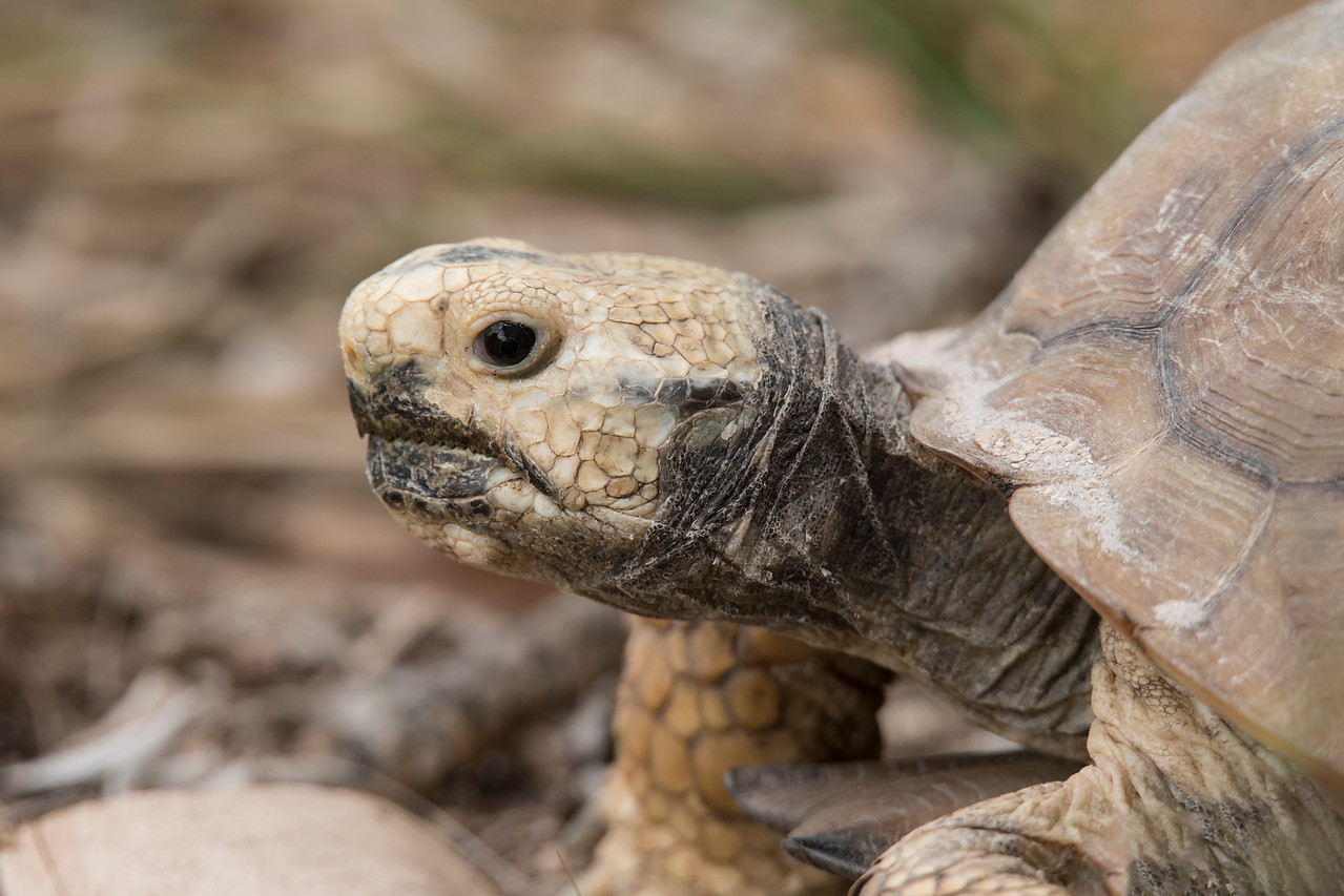 Here's a close-up of the Tortoise.  They are about 9 to 11 inches in length.  Gopher Tortoises are native to the southeastern United States and some are still found in Alabama, South Carolina, Louisiana, Mississippi, and Georgia.  However, most of the remaining Gopher Tortoises live in Florida.