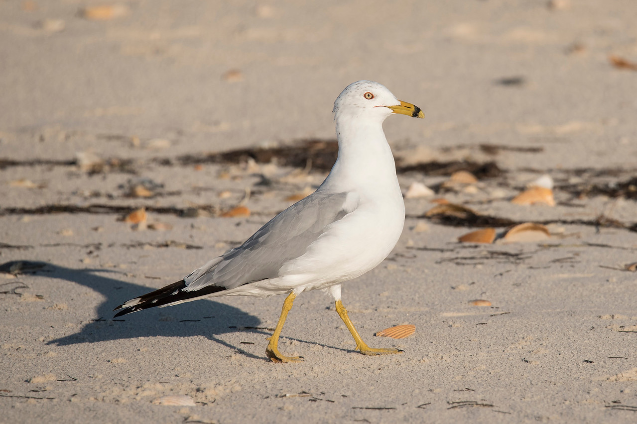 I thought the Willet and I were the only ones on the beach but suddenly, this Ring-billed Gull arrived on the scene.