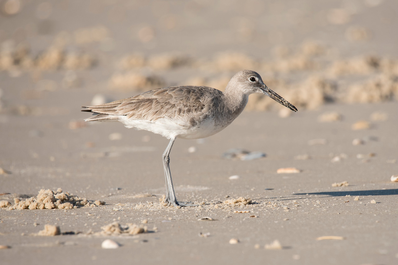 Here's a short picture story of life on a Gulf of Mexico beach.  We are staying on St. George Island in northern Florida again this winter.  A Willet is a pretty common sight here, chasing the waves and picking up food items washed up on the shore.  I stopped to watch this one, however, because it was digging a hole in the sand and I wanted to see what it was trying to get.